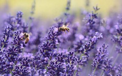 Recipe (calming): How to use Lavender Essential Oil